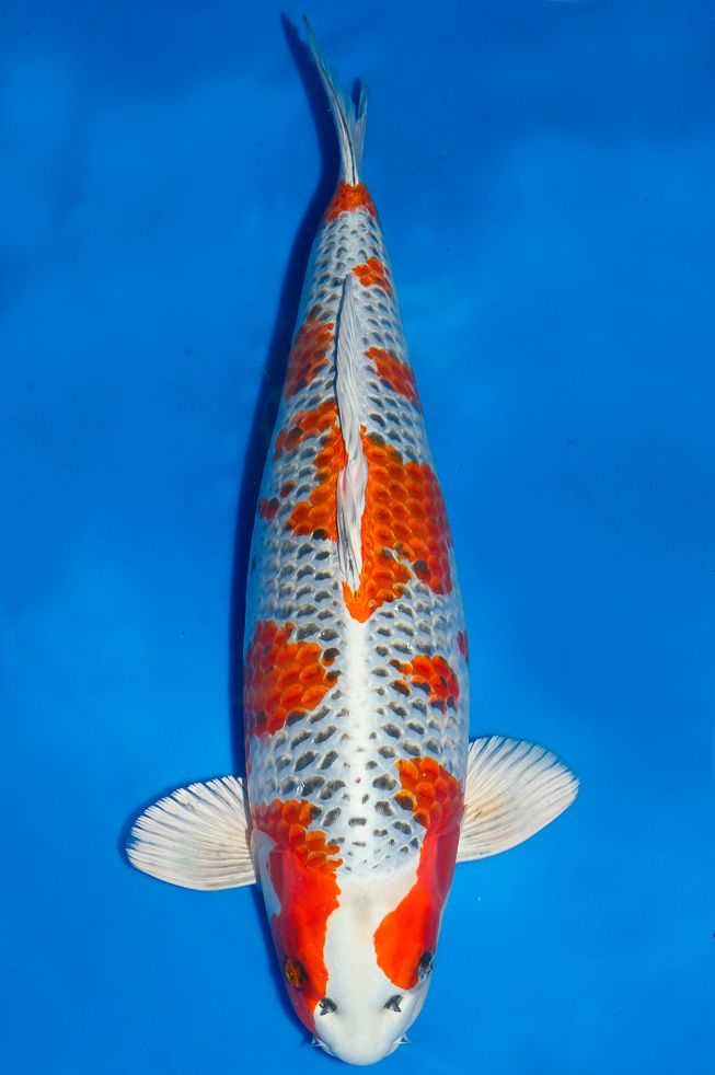 1085 best images about koi varieties on pinterest for Koi fish varieties