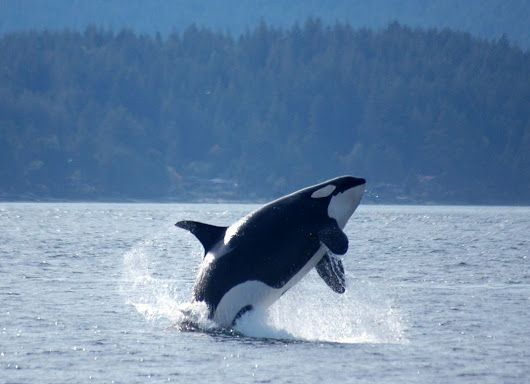 Orcas, apacibles ballenas convertidas en asesinas por los seres humanos