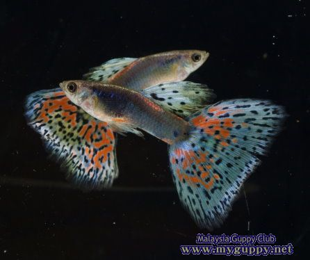 Super guppies bettas a collection of gardening ideas to for Guppy fish for sale