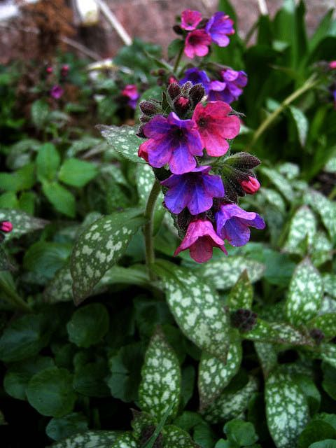 """Latin Name:    Pulmonaria  Common Name(s:) Lungwort    USDA Zone:    USDA Zones 4 - 8  Mature Size:    Height: 10 - 14"""", Spread: 18""""  Exposure:    Shade to Partial Shade. Can tolerate more sun if kept moist.  Bloom Period:    Early Spring. Pulmonaria is one of the first perennials to bloom."""
