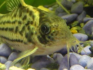 Shes midget suckermouth catfish were this