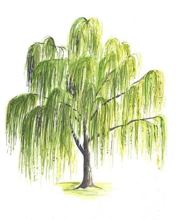 таком картинки рисунки ива капустного листа