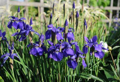 Irises - how to & types http://www.gardeners.com/how-to/growing-irises/7131.html