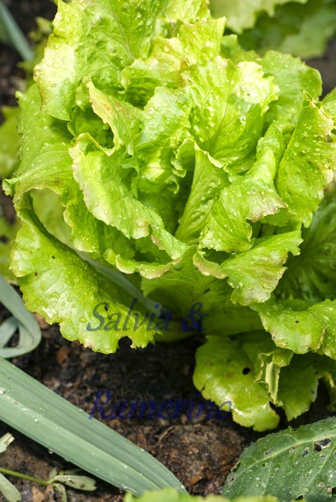 Salviaeramerino blog: My vegetable garden