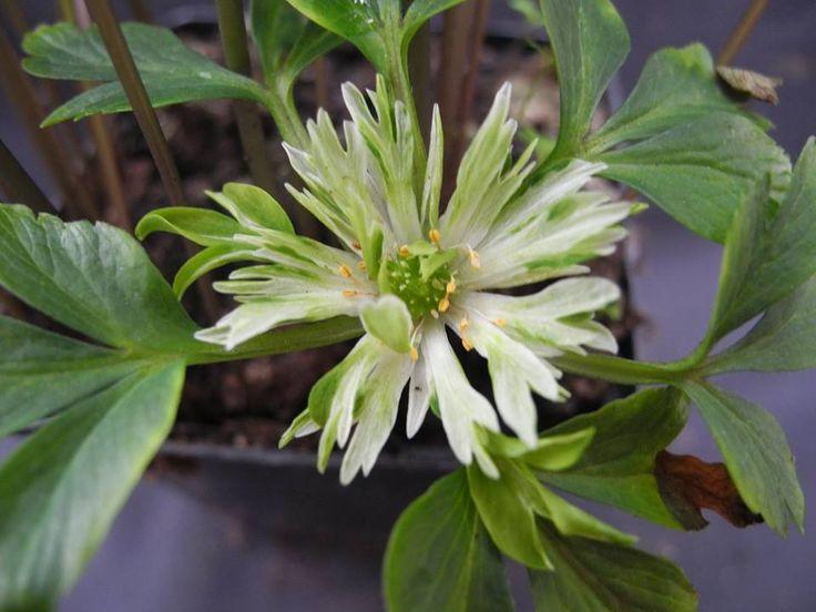 Anemone nemorosa 'Skaraborg'