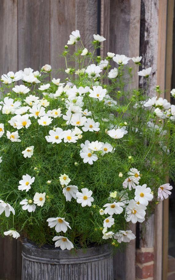 Cosmos Dwarf White Cosmos Bipinnatus Annual Flowers Seed In 2020 Cosmos Flowers Annual Flowers Cosmos Wedding Flowers