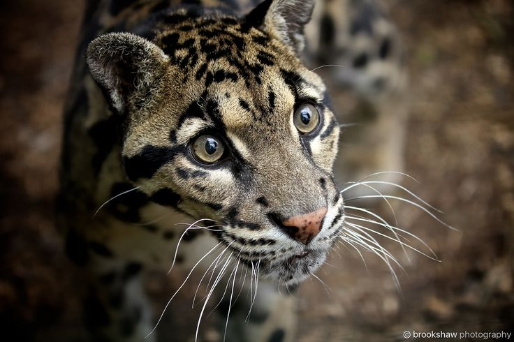 Clouded Leopard - A stunning clouded leopard named Ben at WHF Big Cat Sanctuary...
