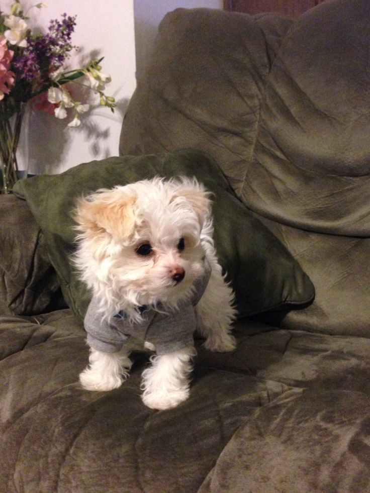 Pomapoo puppy Cute animals, Baby animals, Cute dogs