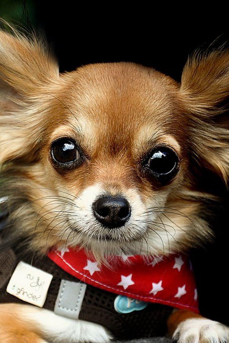 Will Chihuahua Get Along With Labrador Chihuahua Labrador