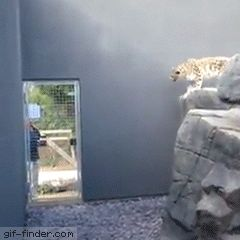 Ada the snow leopard | Gif Finder – Find and Share funny animated gifs