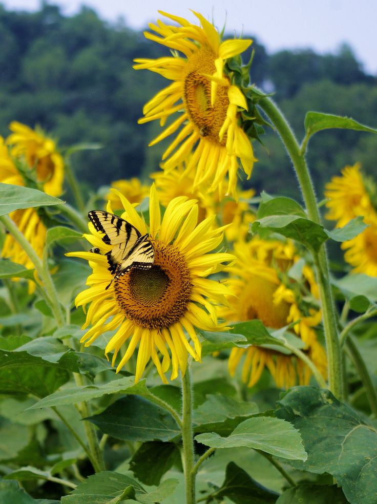 Sunflowers and butterfly at Biltmore Estate in Asheville North Carolina