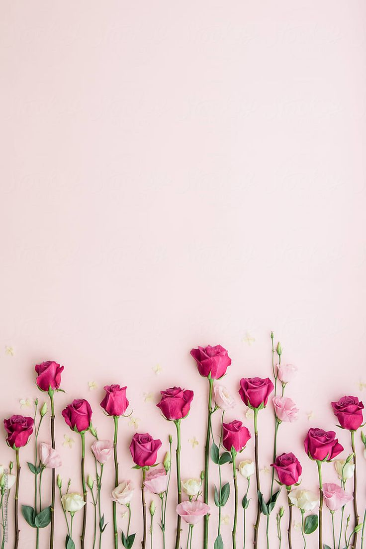 Pink roses on a pink background by Ruth Black for Stocksy ...