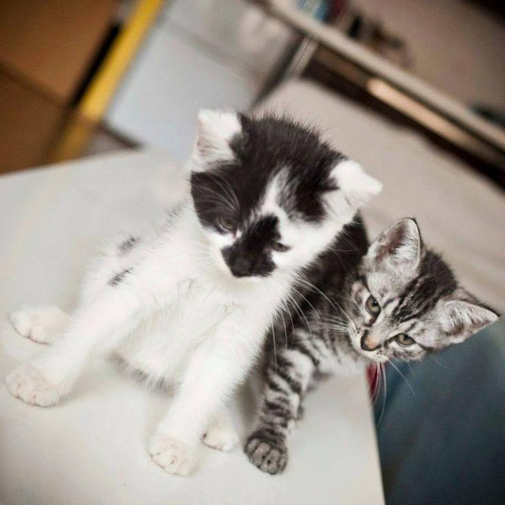 Do adopcji - 7 tygodniowe kotki Chłopak (czarno-biały) oraz dziewczyna (tzw. whiskasowa)  Kontakt do mnie: 889 742 135, czyz.marta@gmail.com. / WROCŁAW