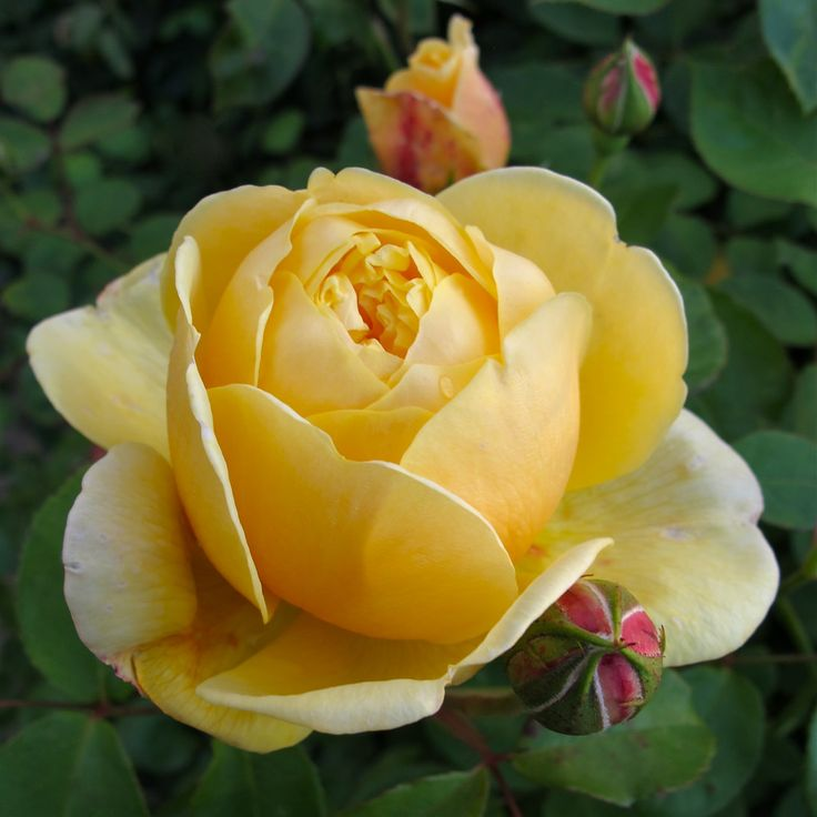 'Charlotte' rose bud opening