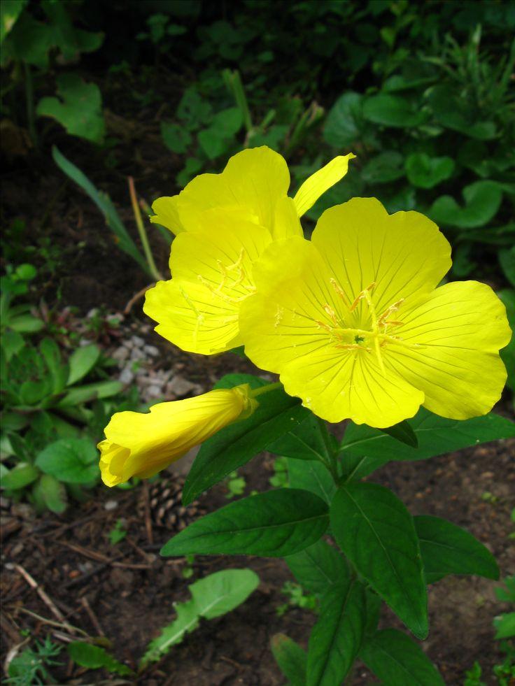 Энотера многолетняя-желанный цветочек для вечерних летающих насекомых, тк цветки не закрываются до поздних сумерек