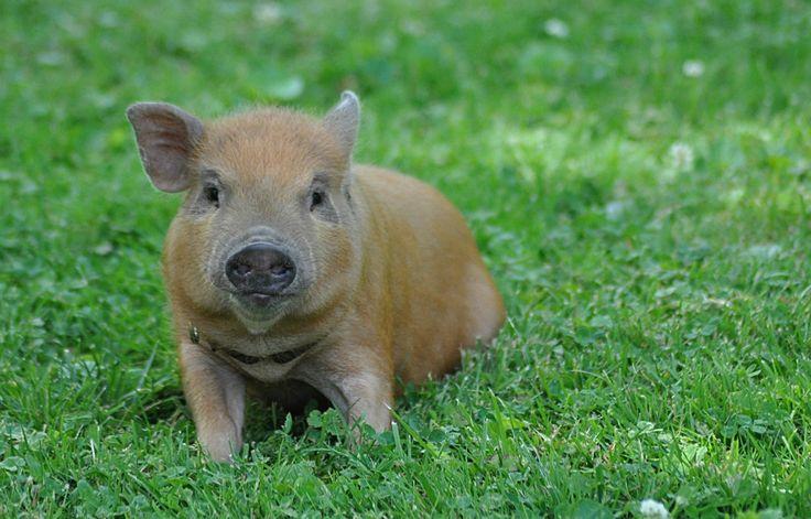 Mini-Juliana Pig - The Cincinnati Zoo & Botanical Garden