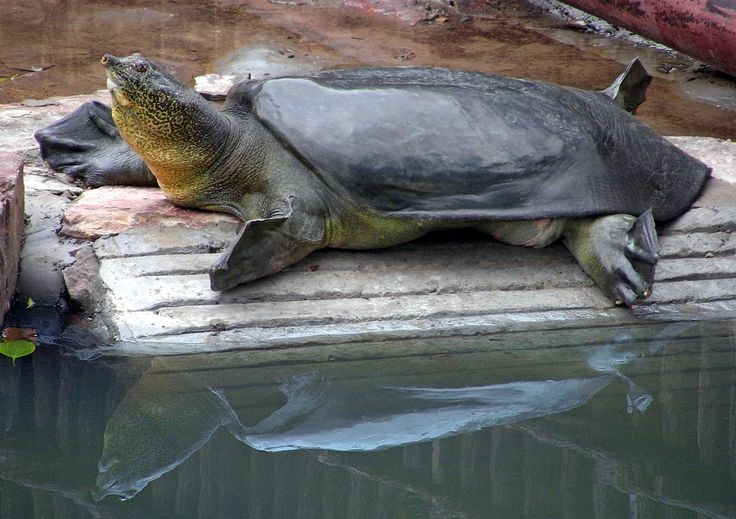 A pair of Yangtze giant softshell turtles in a zoo near Shanghai have produced only infertile eggs. Now scientists are trying a first: artificial insemination.
