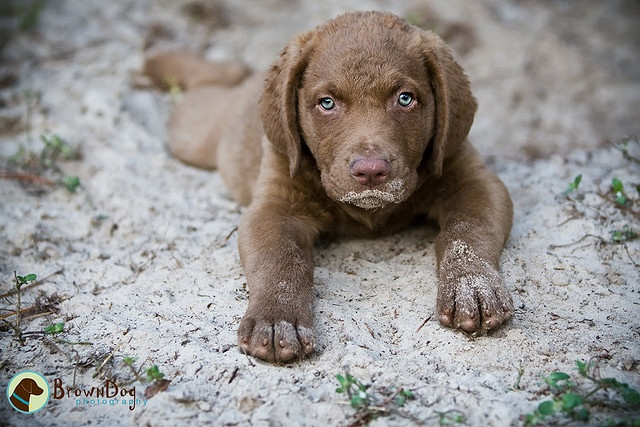 chesapeake bay retriever pup...SUCH a good breed! can't wait for my brother's chessie girl to have pups so we can have one!