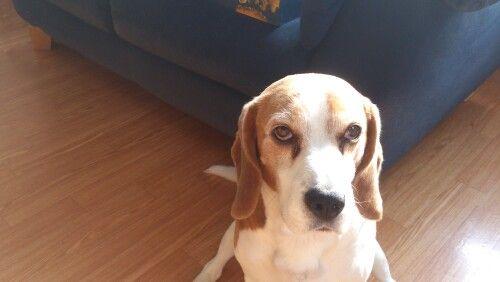 Beagle Sam wil graag naar buiten.