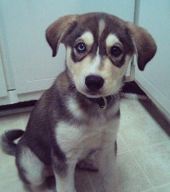 Siberian Retriever Information and Pictures Husky Labrador Retriever Hybrid Dogs