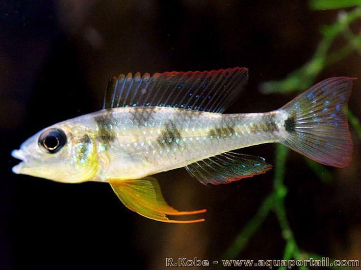 Les 25 meilleures id es concernant cichlid s sur pinterest for Poisson tropicaux eau douce