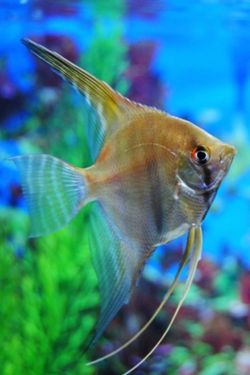 Tropical Fish Tank With GOLDEN ANGELFISH~!