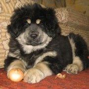 Dogo tibetano