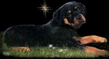 As a German Rottweiler Puppy Breeder we offer German Bred Rottweiler Puppies,Youth and Adults for sale, Whether your looking for a working partner,a show prospect, a new best friend or a foundation on which to build, I can help!!
