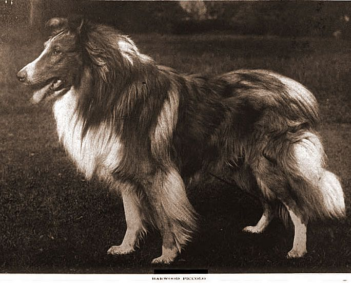 Old Photos of Scotch Collies                              …