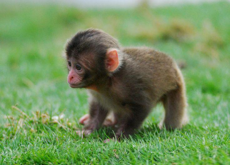 Baby snow monkey!
