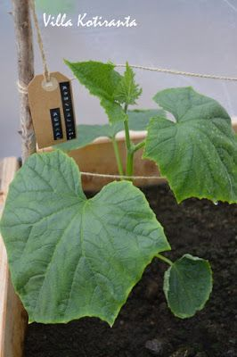 Kasvihuonekurkun kasvattamista kasvihuoneessa. Kyltti, jossa kasvin nimi Dymo -laitteella kirjoitettu./ Growing cucumber in the greenhouse. Sign with plant's name created with Dymo -writer.