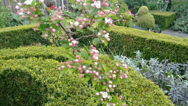 In het midden van de kruiden tuin bloeit de Malus Red Sentinel, volop. Ook goed te zien is dat de Buxus hagen mooi uit lopen.
