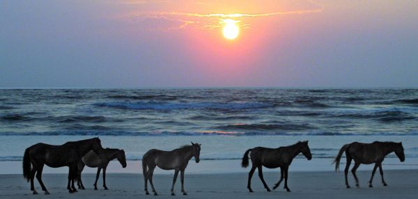 Best Things to do on the Outer Banks :: Wild Horses of Corolla, NC