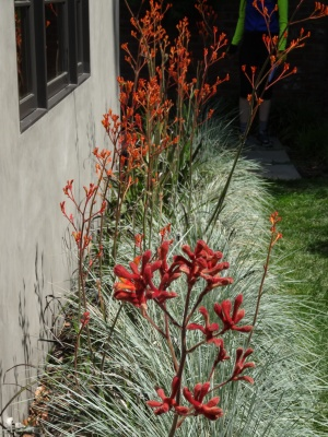kangaroo paw and blue oat grass. looks great alongside the lawn even without a seating wall. this would be pretty along the side of the house with some burgandy striped phormium at intervals.