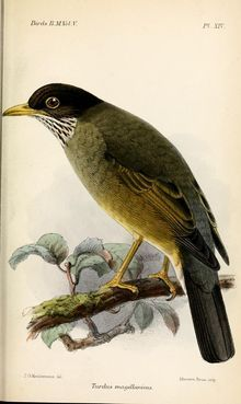 The austral thrush (Turdus falcklandii) is a medium-sized thrush from southern South America. There are two subspecies, the Magellan thrush (T. f. magellanicus) from south Argentina and south and central Chile, and the Falkland thrush (T. f. falcklandii) from the Falkland Islands.  The austral thrush is similar to the European blackbird, also of the genus Turdus, with a yellow bill and feet, a dark brown head, back and wings and paler underparts. The smaller T. f. magellanicus is more olive…