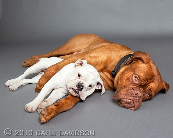 It does look a little like the bulldog is being squished but oh so cute!!!!