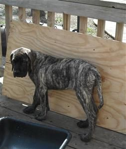Brindle is the best! Just saying. This is a beautiful English Mastiff with a brindle coat!