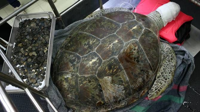 Sea turtle that survived eating 900 coins dies of blood poisoning - National | Globalnews.ca