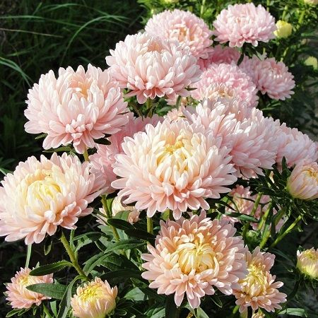 Aster Seeds (Peony Duchess) - ApricotA little like a chrysanthemum, a little like a peony, who would believe that this beautiful bloom is an Aster? Big flowers on tall stems make Peony Duchess Asters the perfect addition to the cutting garden and their lovely, soft pink/apricot hue makes them a show stopper wherever they are planted or displayed.