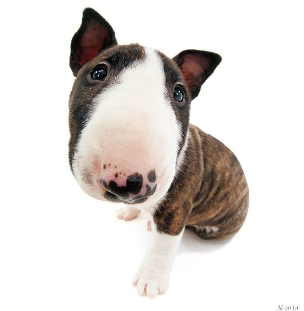 Artlist Collection THE DOG (Bull Terrier) —What is/are your favorite dog breeds?