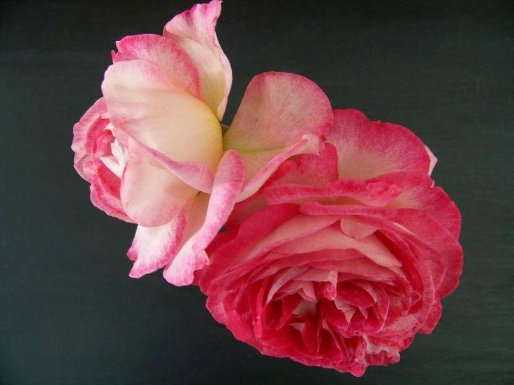 Roses toujours...