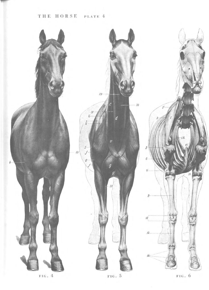 35 best Horse Anatomy images on Pinterest | Horse anatomy, Horses ...