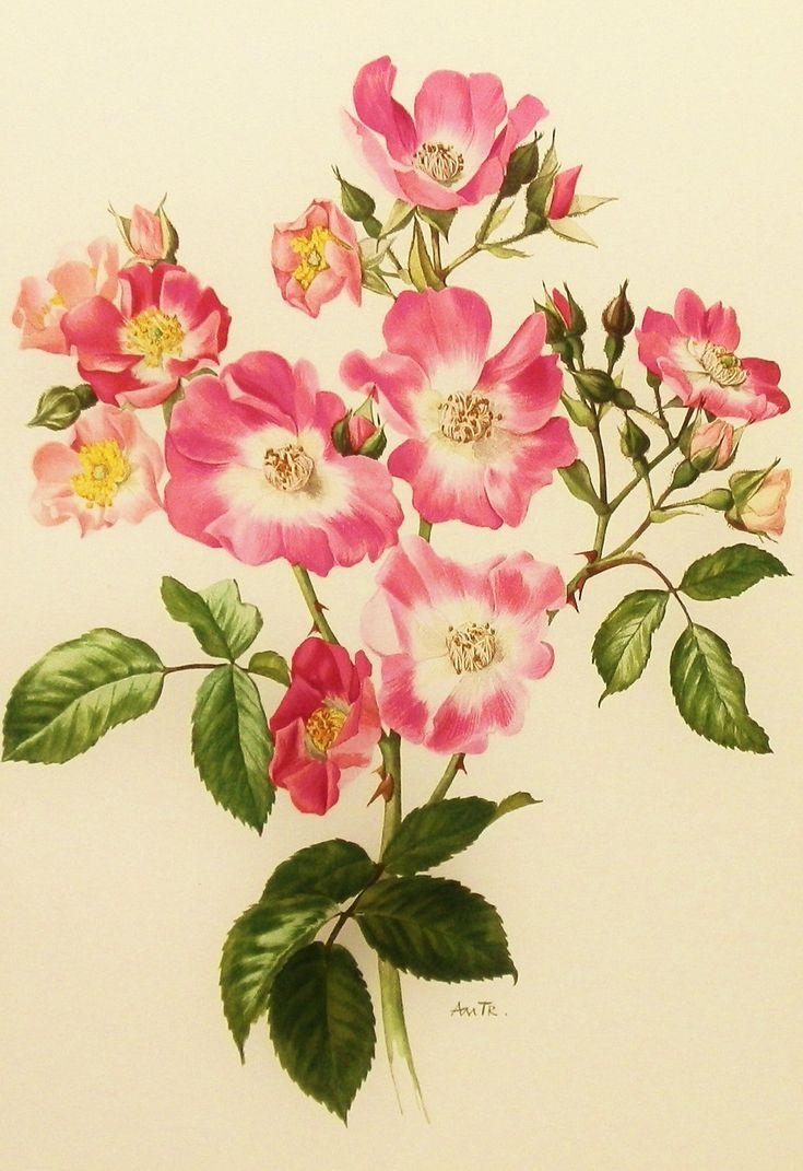 1960s Honeysuckle Pink Rose, Flower Print, Vintage Botanical Illustration (For You To Frame) Book Plate No. 21. $10.00, via Etsy.