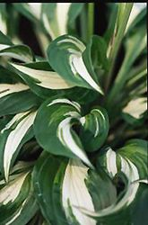 White-Variegated Hosta (Hosta undulata 'Albomarginata') at Arrowhead Nurseries