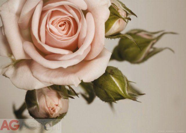 Obrazová papírová fototapeta rozkvetlá růžová růže FTM0820 / Obrazové papírové fototapety na zeď 1 dílné FT0820 AG Design (160 x 115 cm)