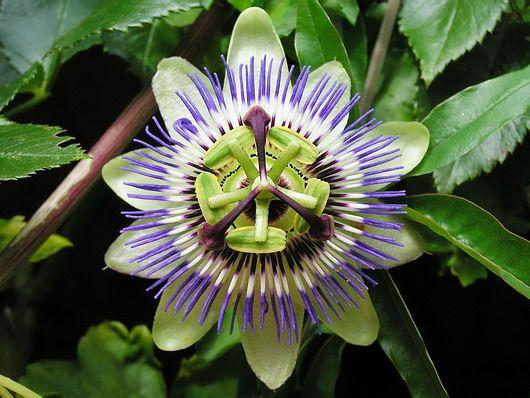 Passionsblume 'Purple Haze' - Passiflora 'Purple Haze'