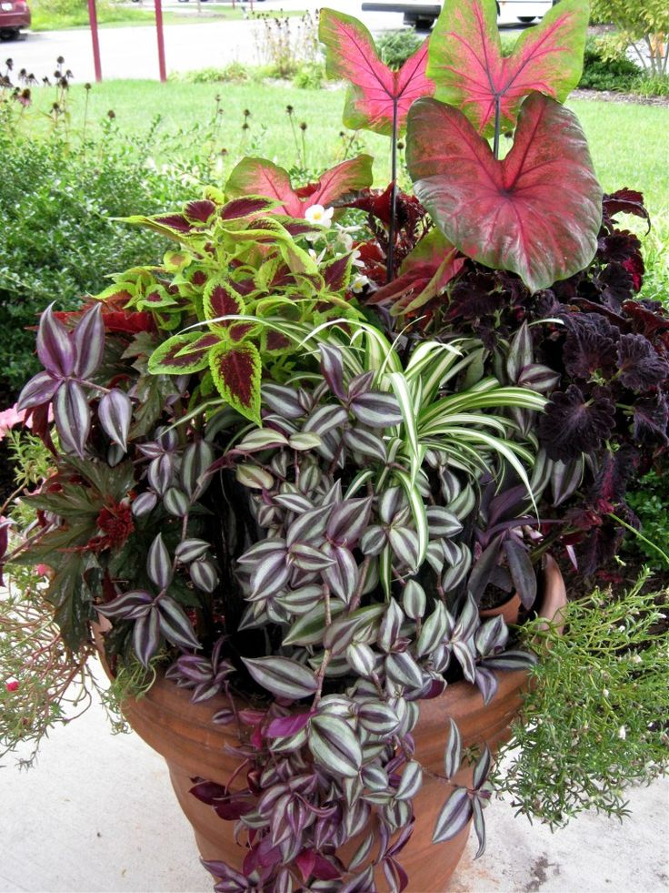 Partial Shade Container Garden; Indoor Tropicals and Exterior Annuals | Ingredients:  Caladium,  Spider Plant,  Zebra Striped Wandering Jew,  Zebrina pendula,  Purple Heart Wandering Jew,   Red & Green Coleus,  Deep Purple Coleus  Moss Rose,  Portulaca Grandiflora,  White Begonia | greengardenista.com
