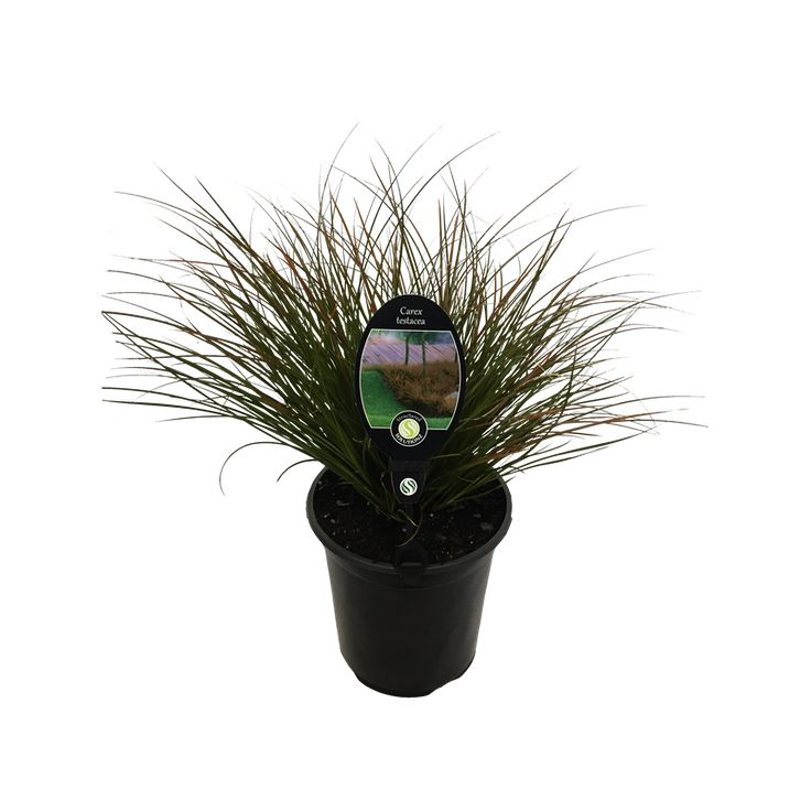 Find Plant Carex Testacea 3.5L at Bunnings Warehouse. Visit your local store for the widest range of garden products.