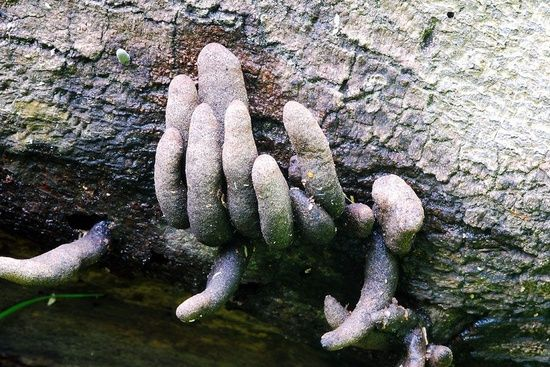 """""""Dead man's fingers(Xylaria polymorpha)is a saprobic fungus. It is a common inhabitant of forest and woodland areas, usually growing from the bases of rotting or injured tree stumps and decaying wood. As its name suggests, it has a very variable but often club-shaped fruiting body  resembling burned wood. Often this fungus is found with a multitude of separate """"digits"""" but at times the individual parts will be fused together."""""""