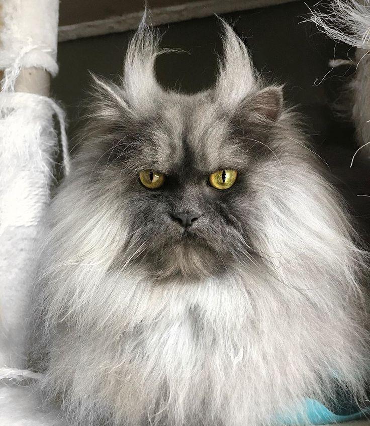 самые пушистые кошки в мире фото купальник это